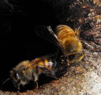 Africanized killer bee removal in Wimauma