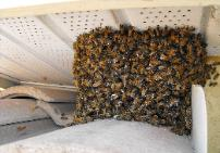 Honeybees removed in Saint Petersburg