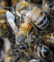 Africanized killer bee removal in Holiday