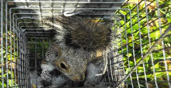 Squirrel trapper in Safety Harbor