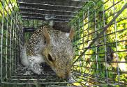Squirrel trapping in Tarpon Springs