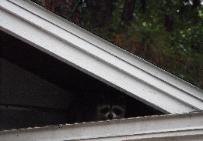 Raccoon in attic removed in Seffner