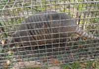 Armadillo trapper in Hudson Beach