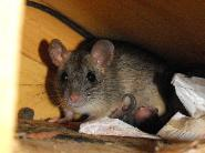 Rodent control in Crystal Beach
