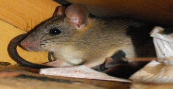 Get rid of rats in Balm