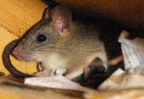 Rat Removal University Park TX