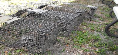 Raccoon trapping in Crystal Beach