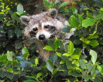 Raccoon removal in Clearwater