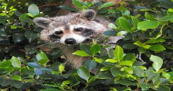 Raccoon trapper in Indian Shores