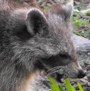 Raccoon removal in Crystal Beach