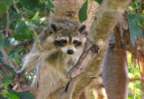 Raccoon trapper in New Port Richey