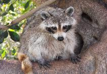 Raccoon trapper in Wimauma