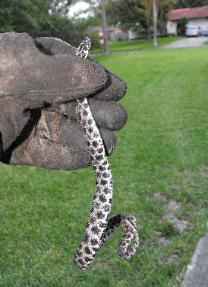 Rattlesnake trapping in Seminole