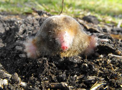Mole Removal Specialists Mole Trapping And Mole Control