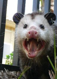 dead opossum removal