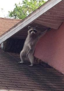 Raccoon in Attic Removal